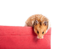 Hamster sitting on the box Stock Photos