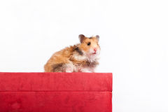 Hamster sitting on the box Royalty Free Stock Photo
