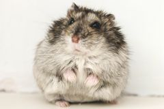 Hamster. Sitting and looking at youn Royalty Free Stock Photo