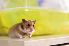 Hamster sitting near its cage Royalty Free Stock Photo