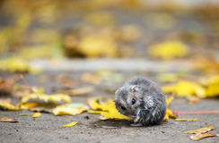 Hamster sitting outdoor in autumnal leafs Stock Photography