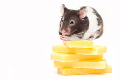 Hamster sitting on top of cheese and eating Stock Photo