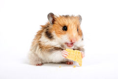 Hamster sitzt und isst Stockfotografie