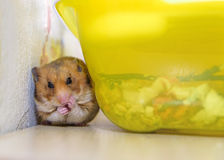 Hamster sitzt und säubert Lizenzfreie Stockfotografie