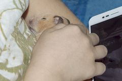 Hamster sleeps in the arms royalty free stock images