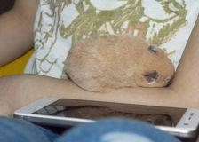 Hamster sleeps in the arms stock images