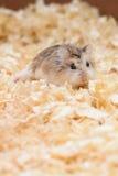 Hamster som är gullig i en kall rolig lek Fotografering för Bildbyråer