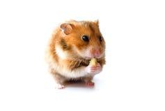 Hamster som äter stycket av bananen som isoleras på vit bakgrund Arkivfoton