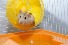 Hamster som spelar leksaken Royaltyfria Foton