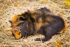 Hamster somnolent mignon Photographie stock