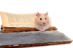 Hamster standing on two old books Stock Photography
