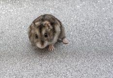Hamster starrt in den Abstand an lizenzfreies stockbild