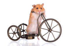 Hamster sur une bicyclette Photo stock