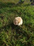 Hamster sur une laisse Images stock