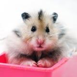 Hamster syrien 7 Photos libres de droits