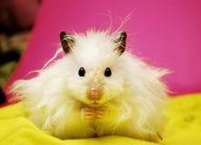Hamster syrien blanc. Images libres de droits