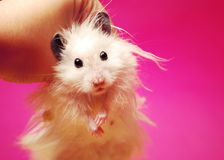 Hamster syrien blanc. Images stock