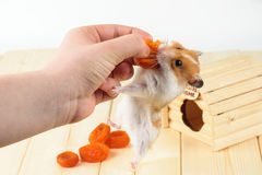 The hamster takes the dried apricots out of the girl. S hand royalty free stock image