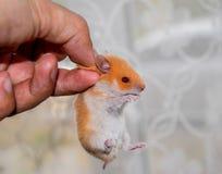 Hamster ter beschikking Hamstergreep scruff Hamster met vingers wordt gehouden die stock foto