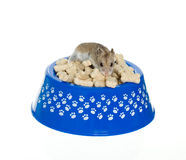 Hamster on top of milk bones in dog bowl. Hamster on top of milk bones in blue dog bowl, isolated on white Stock Photography
