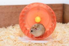 Hamster toy that's fun Royalty Free Stock Image