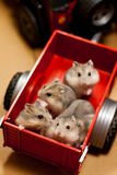 Hamster in a trailer toy. 5 Hamsters in a trailer toy replica Stock Photography