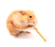 Hamster trumpeter Stock Image