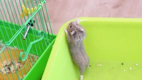 Hamster trying to escape the pan. Medium shot in full HD format stock footage