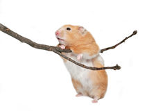 Hamster with twig. Golden hamster standing on hind legs balancing on twig royalty free stock images