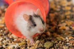 Hamster und Nahrung Stockfotografie