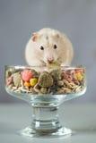 Hamster unter farbigem Lebensmittel für Nagetiere auf einem grauen Hintergrund Lizenzfreie Stockfotografie