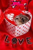 Hamster for valentine Stock Photo