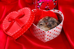 Hamster for valentine Royalty Free Stock Images