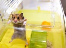 Hamster verlässt einen seinen Käfig Lizenzfreie Stockbilder