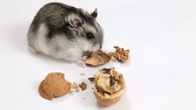 Hamster and walnut