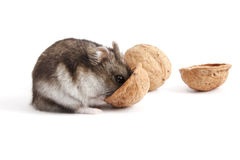 Hamster and walnuts Royalty Free Stock Photos