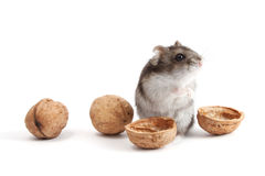 Hamster and walnuts Royalty Free Stock Image