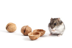 Hamster and walnuts Royalty Free Stock Images