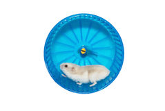 Hamster in the wheel. Ramster running in the wheel. Routine concept Stock Photography
