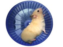Hamster in a wheel. Over white background Stock Photos