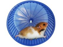 Hamster in a wheel. Over white background