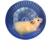 Hamster in a wheel. Over white background Stock Photography