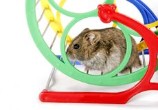 Hamster in wheel. Grey domestic hamster sitting on the metal and plastic wheel Stock Photos