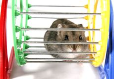 Hamster in wheel. Grey domestic hamster sitting on the metal and plastic wheel Royalty Free Stock Photo