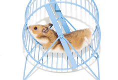 Hamster in the wheel. Little hamster running in the wheel Stock Photos