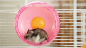 Hamster in a wheel stock video footage
