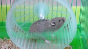 Hamster on wheel in a cage stock video footage
