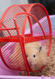 Hamster in wheel Stock Images