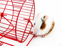 Hamster wheel on white Stock Photos