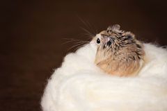 Hamster Whiskers Stock Images